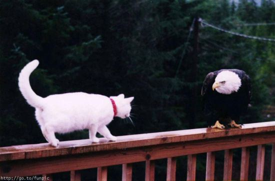 cat approaching eagle on railing